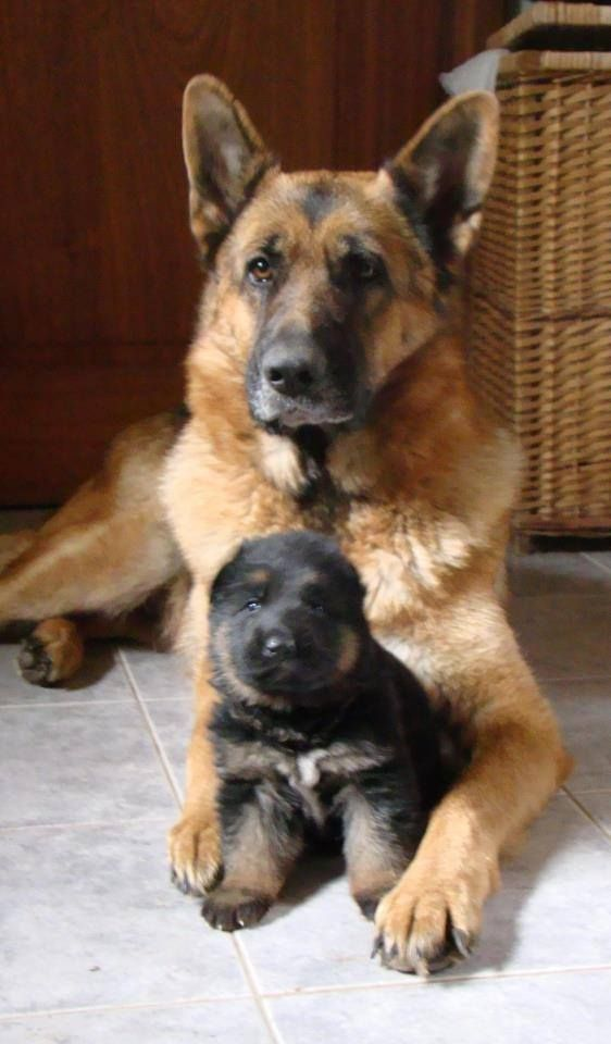 12 Reasons Why You Should Never Own A German Shepherd Dog