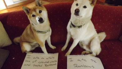 Photo of You Won't Believe What These Dogs Did! Hilarious, but Their Owners Are Not Laughing