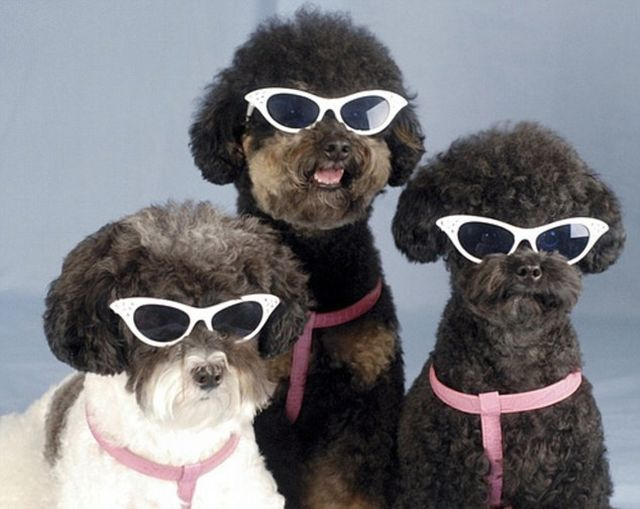 animals funny cute dogs cool things dog doing sunglasses wearing glasses animal poodle they three weird well mixed poodles party