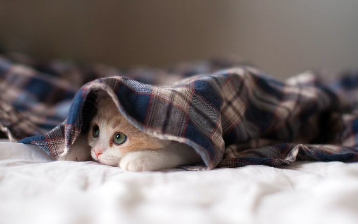 Green-eyed kitten under plaid shirt