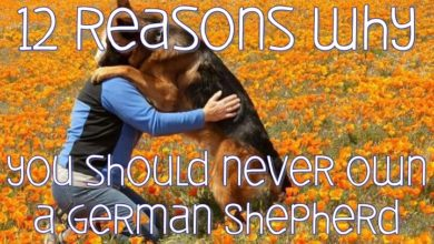 Photo of 12 Reasons Why You Should NEVER Own a German Shepherd Dog
